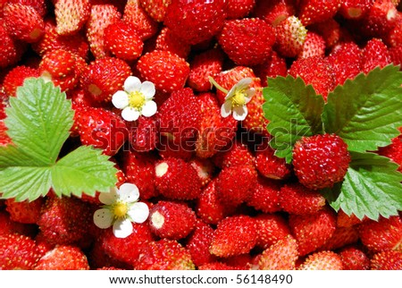 A lot of red juicy wild strawberry