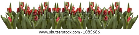 A lot of red tulips on white