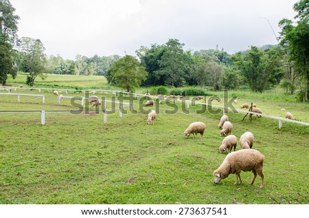 A lot of sheep in farm - stock photo