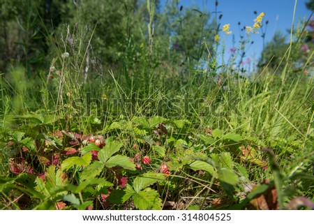 A lot of wild strawberries at the clearing in the woods - stock photo