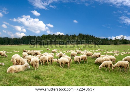 A lot sheep on the beautiful green meadow - stock photo