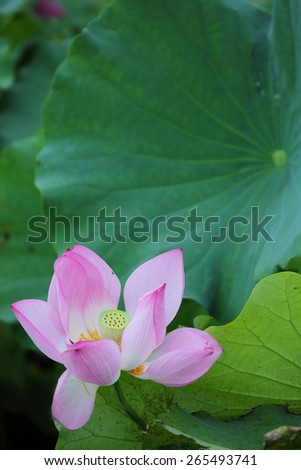 A lotus flower blooming among leaves - stock photo