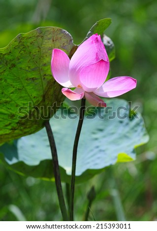 A lotus flower in the swamp  - stock photo