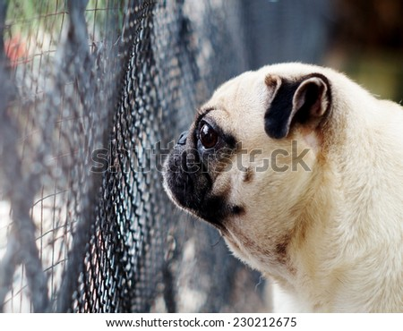 a lovely cute white fat pug dog standing and looking at something outside a garden house fence with green outdoor surrounding background - stock photo