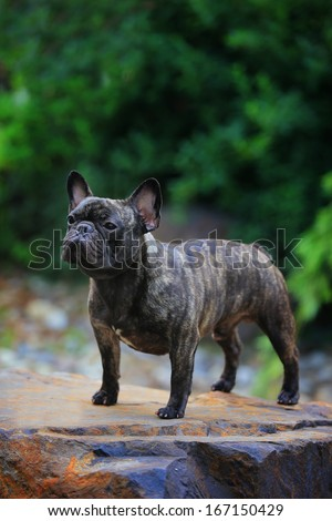 a lovely  French Bulldog
