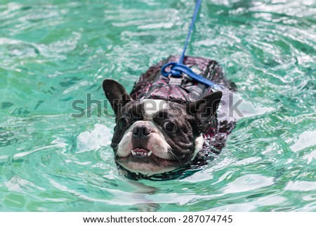A lovely french bulldog is swimming in the pool with joyful