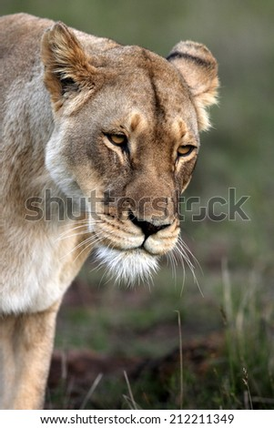 A lovely image of a lioness on the move. - stock photo