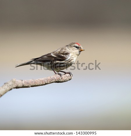 A lovely Lesser Redpoll on a thin perch - stock photo