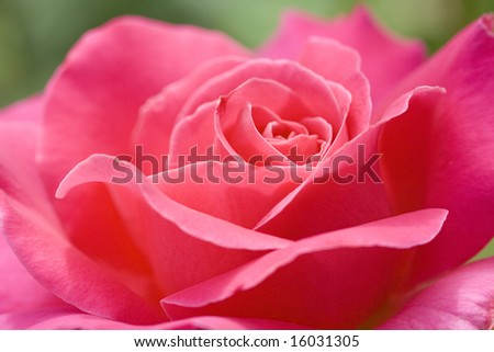 A lovely pink rose. - stock photo