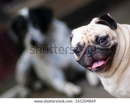 a lovely white fat pug dog with a dalmatian laying on the floor inthe background looking at camera and smiling - stock photo