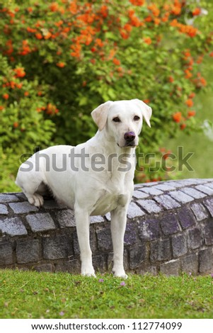 A lovely white labrador female is sitting on a stone wall and watching others. - stock photo