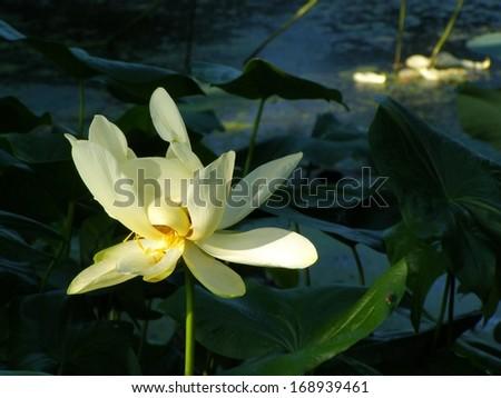 A lovely white lotus flower - stock photo