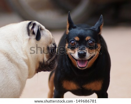 a lovely white pug communicate with a black miniature pincher. one dog looking at camera