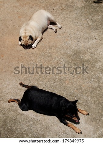 a lovely white pug with a small black miniature pincher laying flat together on the floor under sunlight - stock photo