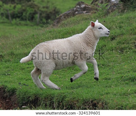 A lovely young Sheep running in a green field - stock photo