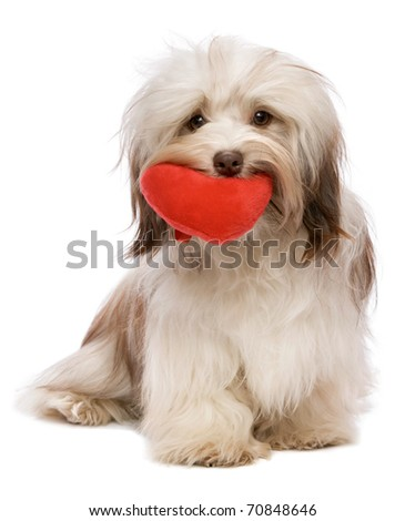 A lover chocolate valentine havanese dog holding a red heart in mouth isolated on white background - stock photo