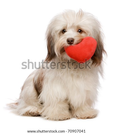 A lover chocolate valentine havanese dog holding a red heart in mouth isolated on white background