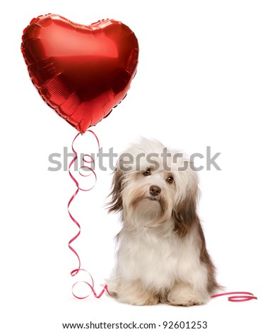 A lover chocolate valentine havanese dog with a red heart balloon isolated on white background - stock photo