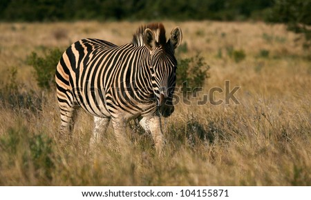 A low angle front on profile portrait of this burchells zebra walking through the long golden grass.Taken while on safari in Addo elephant national park,eastern cape,south africa - stock photo