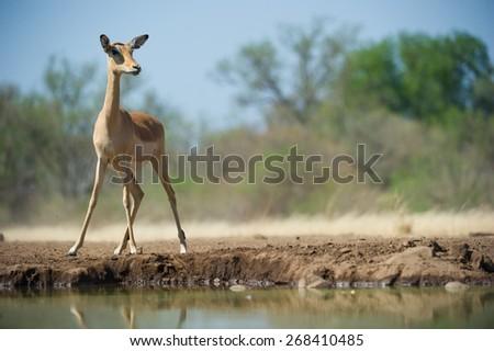 A low angle, horizontal, colour photo of a wary impala ewe at a waterhole - stock photo