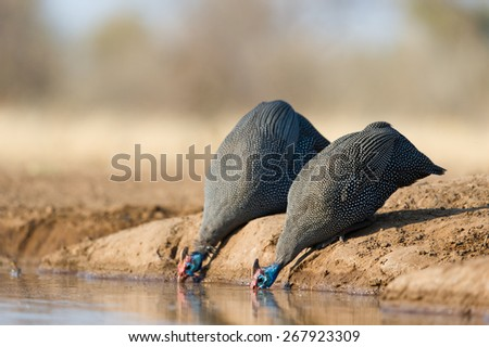 A low angle, horizontal photo of two helmeted guinea fowl drinking at a waterhole in Mashatu, Botswana. - stock photo