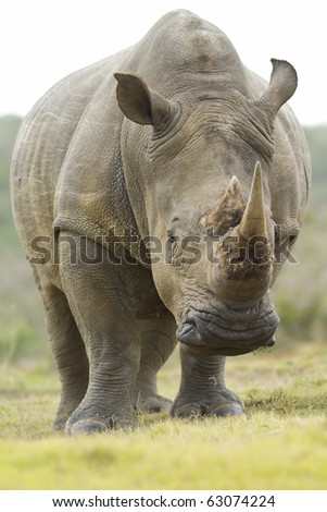 A low angle shot of a white rhinoceros feeding.