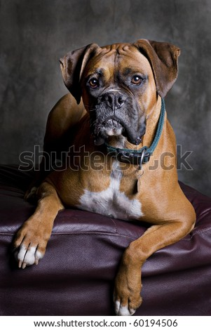 A low-key portrait of a fawn colored Boxer dog. - stock photo