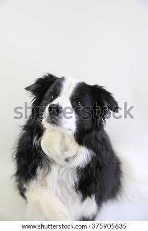 A loyal dog looking up at the camera with his paw raised - stock photo