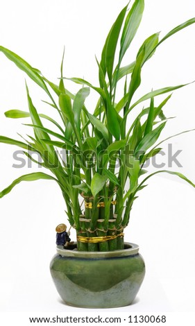 A lucky bamboo plant isolated on a white background - stock photo
