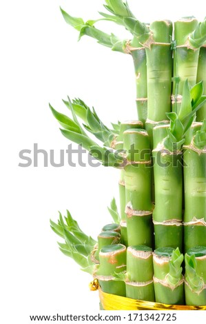 A lucky bamboo plant on a white background - stock photo