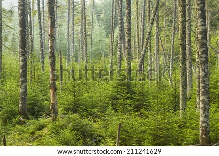 A lush evergreen forest near Ferd's Bog in the Adirondack Mountains of New York - stock photo