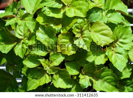 A lush green patchouli plant fills the image, plant is shown from above.