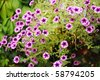 A lush patch of petunias in pink and purple. - stock photo