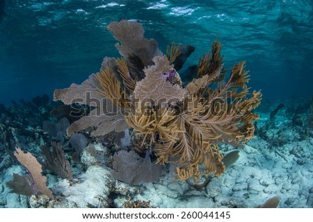 A lush set of gorgonians grows in the shallows of Turneffe Atoll off the coast of Belize in the Caribbean Sea. Sea fans such as these feed on planktonic organisms that float in ocean currents. - stock photo