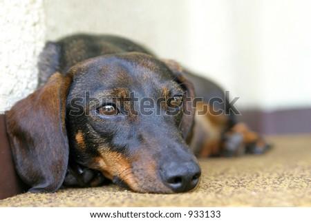 a lying dachshund. Shallow DOF. Focus on eyes. - stock photo