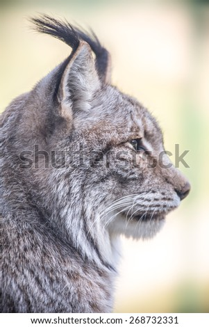 a lynx - stock photo