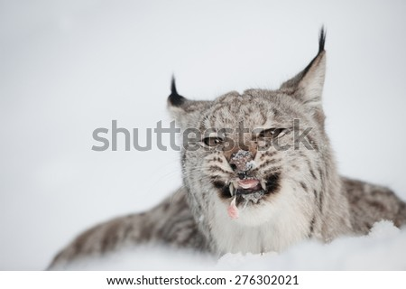 A Lynx feeding on the last morsel of a meal while lying in deep snow. - stock photo