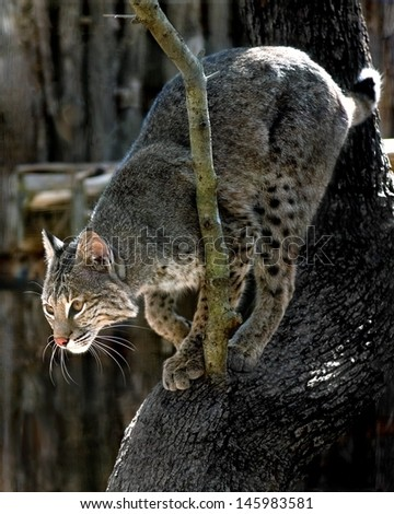 A lynx in a tree in a zoo. - stock photo