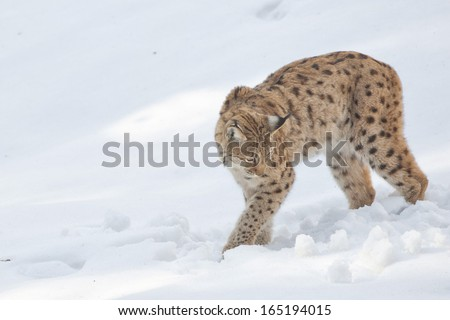 A Lynx in the snow background while looking at you - stock photo