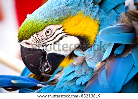 A macaw looks so happily. scarlet macaws perched. - stock photo