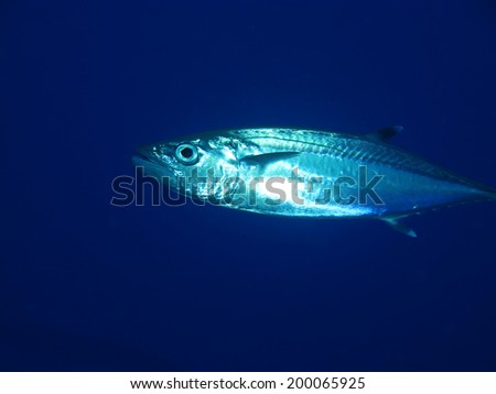 A mackerel hunting in blue water - stock photo