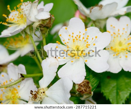 A macro closeup of a Raspberry Blossom in the spring. - stock photo