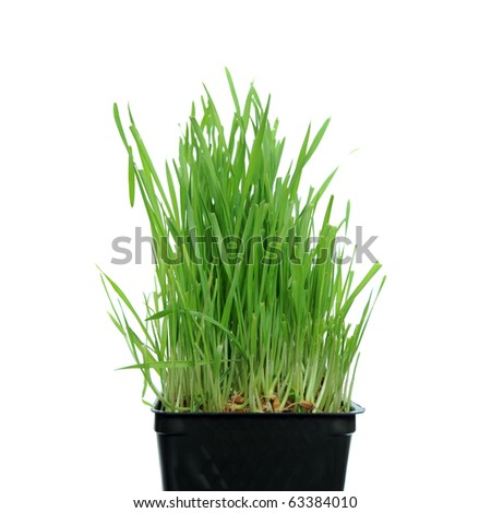 A macro closeup of wheat grass growing from the roots in the ground of dirt and soil