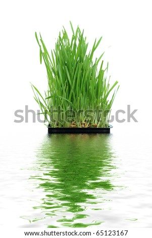 A macro closeup of wheat grass growing from the roots in the ground of dirt and soil - stock photo