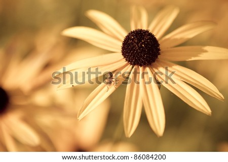 A macro desaturated shot of a black-eyed susan (Rudbeckia hirta) with a bug on the petal.