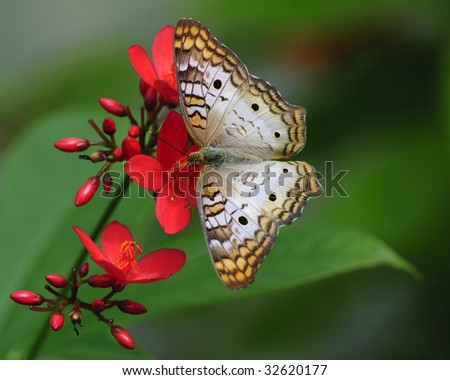A Macro detail of a white butterfly on red flowers with a green background.