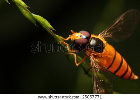A macro of a hoverfly in diagonal orientation