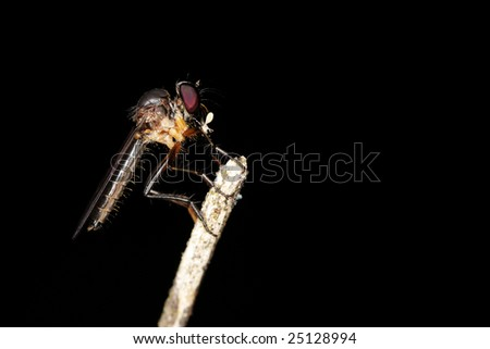A macro of a robberfly on black background