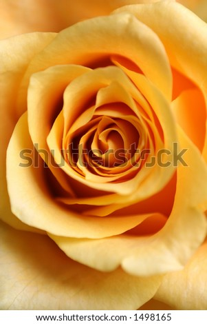 a macro of a rose - closer than normal - stock photo