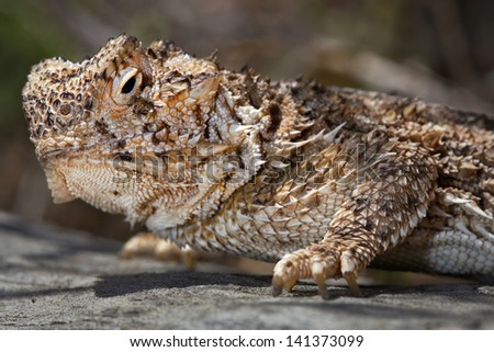 A macro of a Texas Horned Lizard (Phrynosoma cornutum) basking int he sun in Arizona, USA. This species is known to squirt blood from its eyes in defence to scare off predators. - stock photo